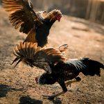 Situs Agen Judi Sabung Ayam