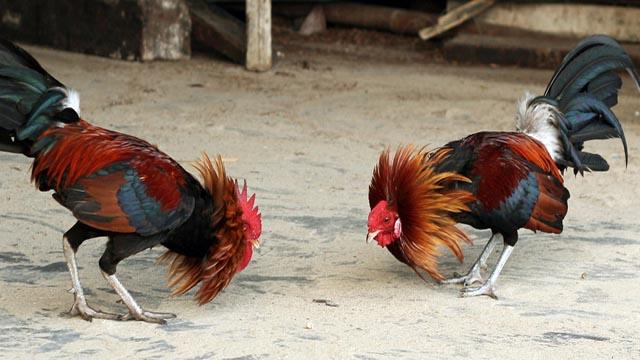 Cara Main Judi Ayam Online Uang Asli